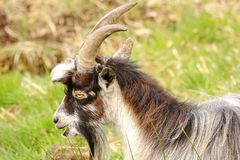 Wild goat (Capra aegagrus hircus) Scotland Royalty Free Stock Photos