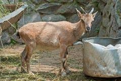 Wild goat (Capra sp.) kid Stock Photos