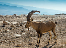 The wild goat - Carpa aegagrus. (male) at desert of the Negev, Israel Royalty Free Stock Photo