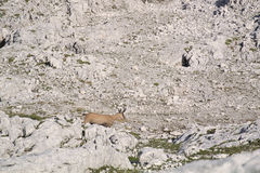Wild goat chamois. The chamois, Rupicapra in the mountains Stock Photo