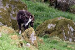 A wild goat climbs onto a moss covered rock. In Southern Scotland Royalty Free Stock Images