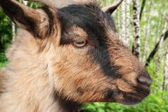 Wild goat close-up against the background of a birch forest stock image
