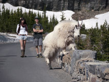 Wild goat crossing stone fence near road. Wildlife are so accustoms to tourists in Glacier National Park Montana that people can get real close. Goats have no Stock Photography