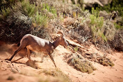 Wild goat in the desert Stock Photos