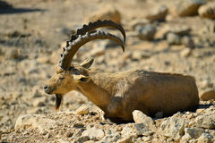 Wild goat at desert of the Negev. The wild goat - Carpa aegagrus (male) at desert of the Negev, Israel Royalty Free Stock Images