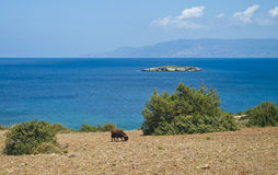 Wild goat eating near sea Stock Images