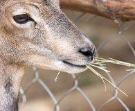 Wild goat eats. In the park in nature Stock Photography
