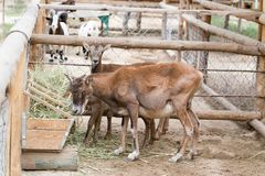 Wild goat eats. In the park in nature Royalty Free Stock Image