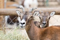 Wild goat eats. In the park in nature Stock Images