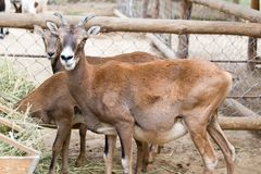 Wild goat eats. In the park in nature Royalty Free Stock Photo