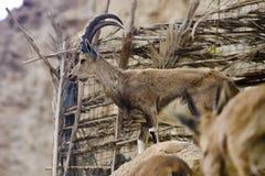 Wild goat in Ein Gedi Stock Image