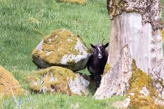 A wild goat grazes peers between a pile of moss covered rocks and a tree. In Scotland Royalty Free Stock Photo