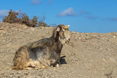 A wild goat in Greece. Royalty Free Stock Photography