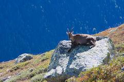 Wild goat in high mountains Royalty Free Stock Photo