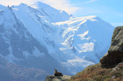 Wild goat in high mountains Royalty Free Stock Photography