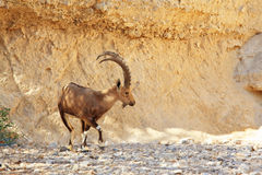 Wild goat with huge horns Royalty Free Stock Photos