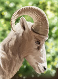 A wild goat Stock Photos