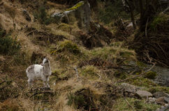 Wild goat in ireland Stock Images