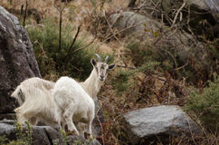 Wild goat in ireland Stock Photos