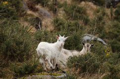 Wild goat in ireland Royalty Free Stock Images