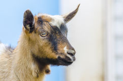 Wild goat kid baby Stock Image