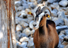 Wild goat (Kri-Kri) Royalty Free Stock Images