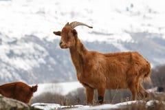 Wild Goat Stock Images