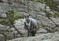Wild goat Stock Photo