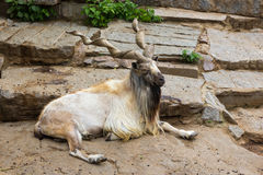 Wild goat markhor Capra falconeri. Male with huge horns having rest Stock Image