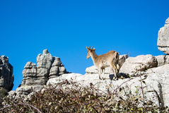 A wild goat at natural park El Torcal. A wild goat at natural park El Torcal de Antequera in Malaga province, Spain Royalty Free Stock Image