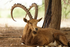 Wild goat in nature outside Stock Images