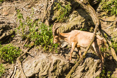 Wild goat in nature. Goat at the zoo Royalty Free Stock Photos