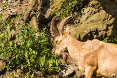Wild goat in nature. Goat at the zoo Stock Photo