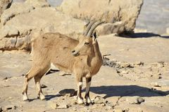 Wild goat in Negev desert. Royalty Free Stock Photography