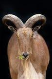 Wild goat portrait. Isolated on dark background royalty free stock images
