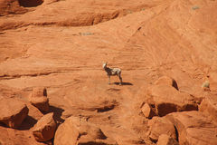Wild Goat on a Red Rock Canyon Wall Stock Photo