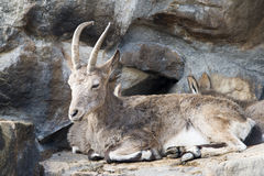 Wild goat resting Royalty Free Stock Image