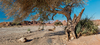 Wild goat is resting under acacia tree in desert of the Negev Stock Photo
