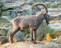 A wild goat on the rock Stock Image