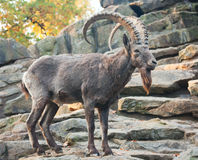 A wild goat on the rock Stock Photo