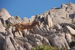 Wild goat on the rock. Wild goats that climb the granite mountains of the island of Caprera (Sardinia Royalty Free Stock Image
