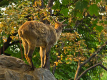 Wild goat on a rock surrounded by trees at sunset in Belgrade zoo Stock Image