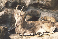 Wild goat in rocks Royalty Free Stock Images