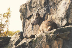 Wild goat on rocks Royalty Free Stock Image