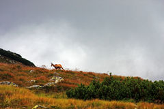 Wild goat running on the mountain Stock Images