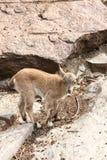 Wild goat. Stock Photos