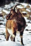 Wild goat in snow Stock Photography