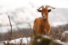 Wild Goat Stock Images