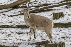 Wild goat Royalty Free Stock Images