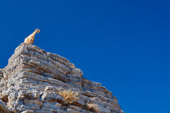 Wild goat on top of the cliff Royalty Free Stock Images